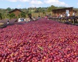Kávékalmár - Ethiopia